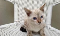 Bengal kittens. Beautiful babies. 4 Snow marbled.Males and Females. Gorgeus blue eyes.Ready to go. First shots Wormed.400. Each.Please Call