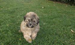 Bichonpoo or poochon pups- which ever you choose to call these lovely puppies they are 100% hypo allergenic and non-shed, great for anyone with allergies or any other kind of problems needing this type of coat. They also are very smart loving little class