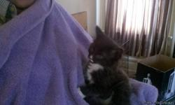 Adorable Black and White Kittens, and gray and black kittens. They are on dry food and occasionaly canned food. I have3 black and white kittens and 2 black and gray kittens. I have males and females. They need to find a forever home. Please call -- and