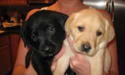 We have adorable lab puppies that were born on November 15th. There are 4 yellow females, 1 yellow male, and 2 black males available and looking for great homes. The mother is purebred black lab and weighs about 55 lbs. The father is purebred yellow lab