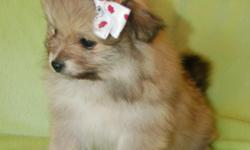 I have four darling pomeranian puppies who will be ready for new loving homes on the 27th. Vet checked and first shots, and already close to being completely potty trained. They are very healthy and playful and would make a wonderful companion to any