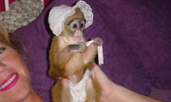 Adorable capuchin monkey babies. Diaper trained and Will get along very well with domestic pets. Has all USDA license and will go to a great home only. Contact me for more details if you can offer a loving home for her