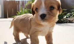 Buster from... Zo & Westley's Cavachon Litter! Litter Information DOB: January 5th Avail. Date: March 2nd They will come with their first set of shots, deworming, a vet health exam, health certificate, and a health guarantee! Shipping is available! Our