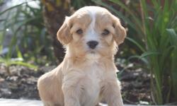 Harley from... Zo & Westley's Cavachon Litter! Litter Information DOB: January 5th Avail. Date: March 2nd They will come with their first set of shots, deworming, a vet health exam, health certificate, and a health guarantee! Shipping is available! Our