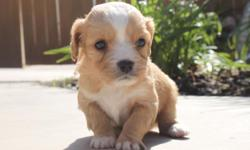 Max from... Zo & Westley's Cavachon Litter! Litter Information DOB: January 5th Avail. Date: March 2nd They will come with their first set of shots, deworming, a vet health exam, health certificate, and a health guarantee! Shipping is available! Our