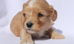 Rosco from... Zo & Westley's Cavachon Litter! Litter Information DOB: January 5th Avail. Date: March 2nd They will come with their first set of shots, deworming, a vet health exam, health certificate, and a health guarantee! Shipping is available! Our