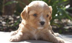 Scarlett from... Zo & Westley's Cavachon Litter! Litter Information DOB: January 5th Avail. Date: March 2nd They will come with their first set of shots, deworming, a vet health exam, health certificate, and a health guarantee! Shipping is available! Our