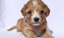 Sophie from... Zo & Westley's Cavachon Litter! Litter Information DOB: January 5th Avail. Date: March 2nd They will come with their first set of shots, deworming, a vet health exam, health certificate, and a health guarantee! Shipping is available! Our