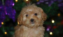 Male CavaPoo (Cavalier King Charles Spaniel/Toy Poodle) born on 10-15-12. UTD on shots, vet checked, and comes with a health warranty and health certificate.   ** Mom is a Toy Poodle (9 pounds) ** Dad is a Cavalier King Charles (12 pounds) **