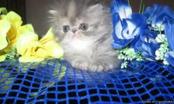 Available are 3 Gorgeous 8 Wks Female Persian Kittens and 1 cream & white male Boy, he is 3 months old. They are extremely healthy and up to date in Vaccines and dewormed. We specialize in Bicolors patterns which consist of Solids, Calicos, Vans and