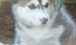 5 adorable CKC Alaskan Malamute Puppies for sale. First shots and wormed. Parents on premises. 4 females and 1 male.