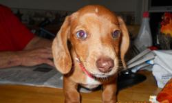 this little guy , is adorable, A.K.C. registered. and up to date on vaccinations.