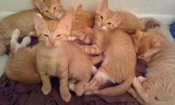 Our orange tabby cats Ginger and Zeus recently had their first litter of kittens. They are both indoor cats, healthy and very loved. We are looking for good homes for their kittens (12 weeks old). They are all litter trained with silica gel litter ( SO
