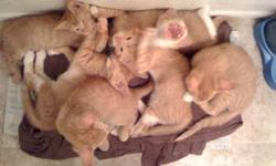 Our orange tabby cats Ginger and Zeus recently had their first litter of kittens. They are both indoor cats, healthy and very loved. We are looking for good homes for their kittens (13 weeks old). They are all litter trained. There are 3 kittens left.