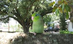 I am a small breeder, in Houston, looking for great homes for my baby parrotlets. These babies have just weaned and are ready to become a new family member or best friend. These are companion pets. All of the babies are trained to step up and down. I take