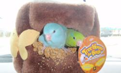 I am a small breeder looking for good homes for my hand fed baby parrotlets. These are companion pets. Each baby will become a new member of your family or best friend. The babies are trained to step up and down and are taken out and socialized. You can