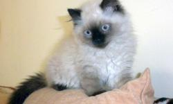 I'm selling an adorable four month old female Himalayan kitten. The kitten is tan with brown eyes. She is very sweet and affectionate and very social. Her claws have been trimmed. she is fully litter boxed trained. This Kitten would make a great pet for