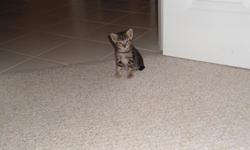 Beautiful grey & white kittens need good loving homes. 2 girls & 2 boys. 6 weeks old in Tehachapi. () -
