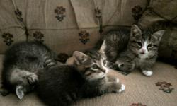 Gray, tan, black, and white striped kittens -- 8 weeks old, fully weaned and litter-trained. Call 814-333-3179