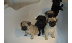 Pug Puppy AKC Female only two little girls and two little boys lefts,and what a cutie, pre-spoiled and very socialized playful and sweet,( One year genetic health guarantee and they have your puppy Vet checked after pickup date.check out website for