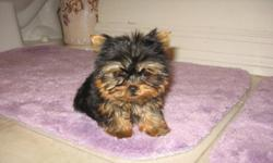 Aladdin is a tiny teacup yorkie boy ... He has very short legs and cute standing ears to compliment is baby doll face. He is 9 weeks and weighs 13 ounces and is ready to go home with his vaccines, health cert, papers and one year full guarantee. He is