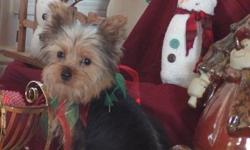 Dixie is an adorable little yorkie that was born August 11, 2012. She is short and stocky built. Sweetest face ever to go with her wonderful personality. She is CKC registered with a written health guarantee. Up to date on shots and dewormed. Started