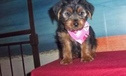 Adorable male Yorkie puppy born Dec. 16 . Parents weigh around 10 lbs. first shots...deworming meds...vet checked.. We can meet you part way if you live a distance from us.