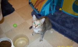 Very loving cat. Nice markings. Female. Needs loving home. Found stray 2 days ago. Containing it until I can find a loving, caring home for it. Contact me by ahdlady64@yahoo.com - OR -- Contact me by phone - 281-987-2272.