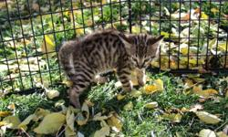 Each kitten grows and matures at different stages. It is up to us, as the breeder, to determine at what point is the right age for our kittens to leave their mothers and our home to begin their new life with you. We take great care to assure that
