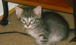 Cute male kittens! 8 weeks old and ready for a good home. They are weaned & litter box trained.