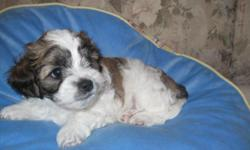 1 male shih poo which is brown & white. father is tri-color shih tzu, he weighs 12lbs and mother is black toy poodle with very little white markings on chin and chest. she weighs 7lbs, very excellent for children or older adults. should get between 7 and