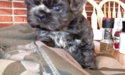 Adorable 6 week old male Shih Tzu puppy for sale. CKC registered nd current on puppy shots. Mostly black with some white.