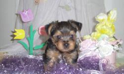 Born 2/13/2011, this gorgeous little guy will surely warm your heart. He comes pre-spoiled and very socialized. This litter was raised in our home, not in a kennel. He is utd on vaccines and has his registration papers. Contact me at 423-923-8465.