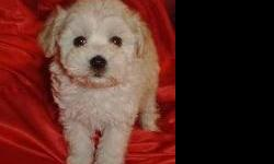 Maltipoo puppies available now. Solids or rare parti colors. Toys or tiny toys. Non-shed and hypo allergenic. Shots, dewormed. Health guaranteed. $400.00 - up call 517-366-8147 for more details. Phone calls best for faster responce. Sorry no shipping.