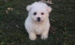 Adorable Maltipoo Puppies Available Now!  white, brown/white, or blk/white parti colors. non-shed hypo allergenic. up to date on all vaccinations, health guaranteed, puppy starter package included. $300.00-$450.00 call 561-688-3411 for more