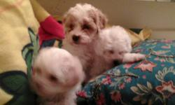 Adorable MaltiPoo puppies for sale - ready for a new home! These pups are 8 wks. old and need a new loving family! Gentle yet playful, they will make a great pet for any household - especially good with kids. Non-shed! Male and female available, $300.