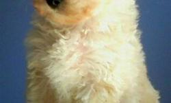 Adorable miniature poodle pups!! Born on January 13th. Will be receiving all shots this week. I have 2 males and one female available. The female is $600.00 and the males are $550.00 each. They are cream colored with light apricot ears. They will be about