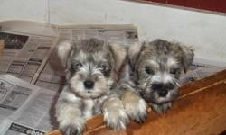 2 Male Miniature Schnauzers puppies, CKC registered, wormed, tails docked, declaws removed, 1st set of shots. Born 12/16/10.