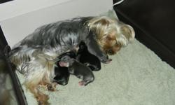 We have 3 Morkie puppies that were born on March 2nd, they will be ready to go to their new homes just in time for Easter! There are 2 females and 1 male left. They will come with their first set of shots. Mom is a 5 pound Yorkshire Terrier, dad is an 8