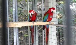 These adorable green winged macaw parrots are now ready for their new forever home. The birds are hand raised and hand fed. They are DNA sexed and proven male and female (related pair). They are well socialized with kids and other home pets such as dogs