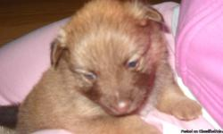 Hi! We have 4 adorable female Pomeranian Puppies that are looking for good homes. We have a sable, parti white with black, a tri colored white with brown and black and a chocolate with a little white. They are very spoiled here with us and Mom & Dad. They