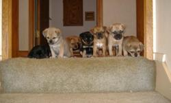 We have 7 (5 male - 2 female) Pug/Chihuahua Puppies available for adoption on Sunday May 22nd. Pups were born on Friday March 25th. All pups are weaned and eating dry dog food. All pups will have a full veterinarian exam and their first set of shots on