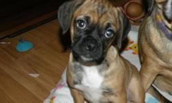 ????????????We have only 1 Adorable male Puggle puppy left that is available! Our puppies are ACHC registered with pedigrees. All our puppies be up-to-date vaccinations, worming and vet checked. Our puppies are raised in our home
