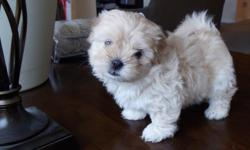 Absolutely adorable Pom-Shis (pomeranian shih tzu) puppies! Born 9 June 2011. 2 males - Black w/ Brown Stripes ($400) and White w/ Brown Spots ($400), 1 female - Solid Tan ($450). Puppies will be available after 21 July 2011.