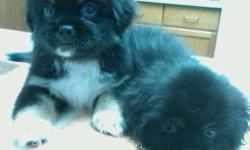 Adorable Black Coat w/ White&Tan Markings Tibetan Spaniel Puppies 9wks DOB 5/3/2011 Vet Checked 1st Shots Wormed M($500) F($700)