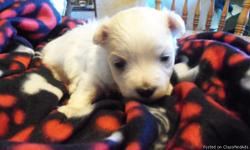 Samson is 3 weeks old! A $100. deposit will hold Samson until he is ready to go home for Christmas! Samson is a pure bred Maltese but he will not come with papers. His Dad weighs 6 lbs. and his Mother 4.7lbs and are both on site. Samson is an only child