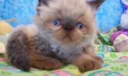 I have 2 adorable seal point Himalayan/Persian kittens left 1 females with a doll face and 1males with a flat faces they are 11 weeks old born 3-10-11 The kittens are CFA Registered. kittens are up to date on shots dewormed Vet checked kittens are healthy