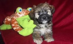 Adorable little Schnauzer/Shih Tzu puppies born Jan. 1st 1 boy and 3 girls They have been vet checked and have their first shots. Mother is a Minature Schnauzer she weighs around 15lbs Dad is a 10lb Shih Tzu. Low shedding. They are waiting and ready to be