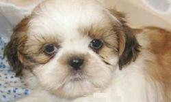 my adorable Shih Tzu puppy, Registered AKC, Current vaccinations, shorts till dates.Her name is Sonoran, 10 weeks old. need a new home. If you re interested please contact me via text, cz am hard of hearing. Text me now for more details. --