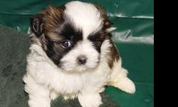 Tricolored. Two males $495.00 each One Female, xtra small $595.00 AKC Health guranteed. Eight weeks old by Christmas. Parents on premises.